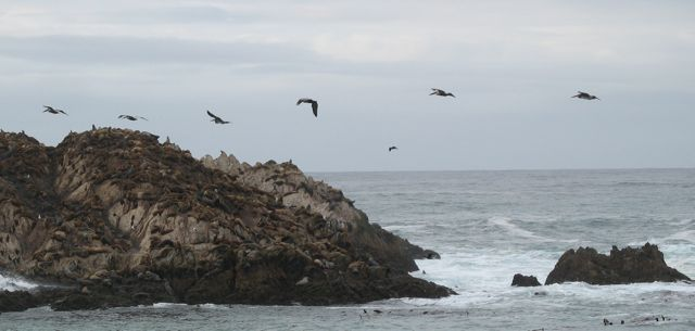 brown pelicans, with bonus elephant seals (photo by Karin Fisher-Golton)